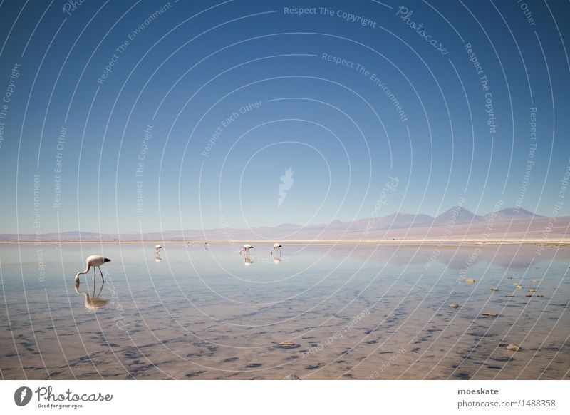 Sky Blue Lake Lakeside Cloudless sky Volcano Chile Flamingo Salar de Atacama Andes