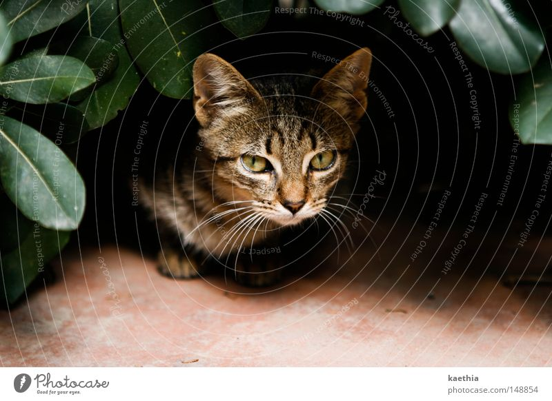 Danger from the bushes! Calm Nature Leaf Cat Threat Mammal Looking Elegant Pelt Contrast Hiding place Animal face Plant Exposed Spain Brown Tabby cat Sadness