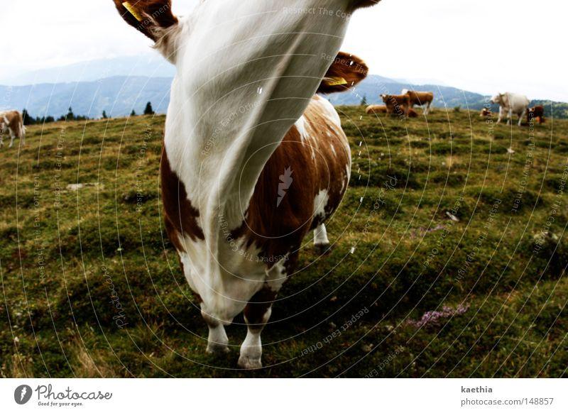 Can you swallow milk? Mountain Meadow Cow Alpine pasture Austria Spirited Pasture Mammal Slaver Grass Green Bavaria Alps Landscape Sky Fog Water Switzerland