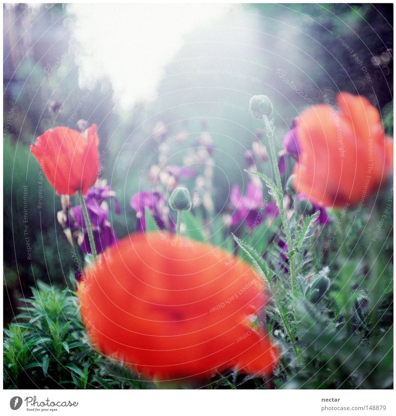 poppy Poppy Red Violet Lily Iridaceae Pink Blue Green Summer Sun Light Lighting Beautiful weather House (Residential Structure) Window Garden Horticulture