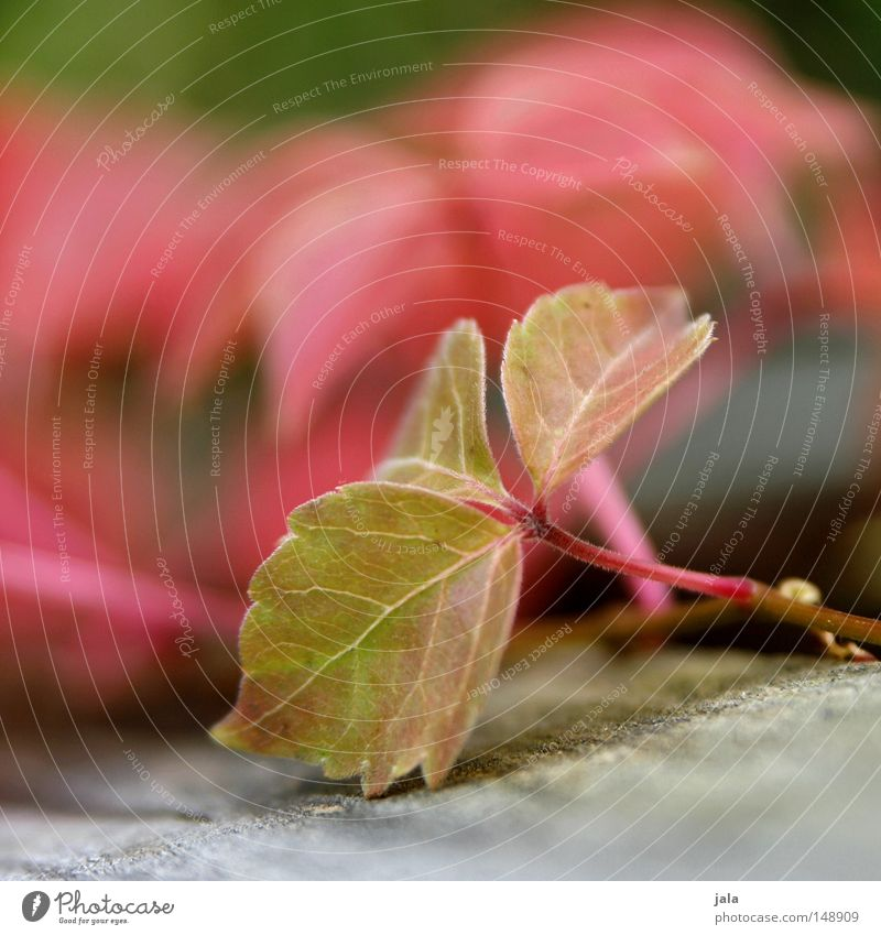 zögling Leaf Autumn Red Green Wood Virginia Creeper Depth of field Detail Plant Stalk Park Transience