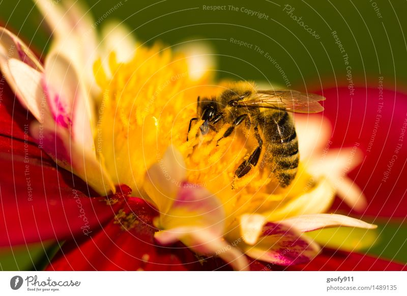 BEE AT WORK Environment Nature Landscape Sun Summer Beautiful weather Plant Blossom Foliage plant Garden Park Meadow Animal Farm animal Wild animal Bee 1