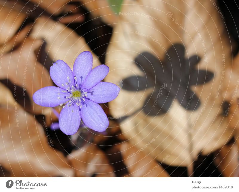 spring flowers Environment Nature Plant Spring Beautiful weather Flower Leaf Blossom Wild plant Hepatica nobilis Forest Blossoming To dry up Growth Esthetic
