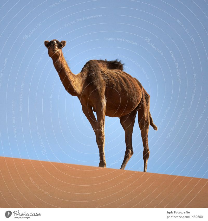 Camel (Dromedary) Vacation & Travel Tourism Adventure Far-off places Summer Nature Animal Sand Cloudless sky Sun Beautiful weather Warmth Desert Farm animal 1