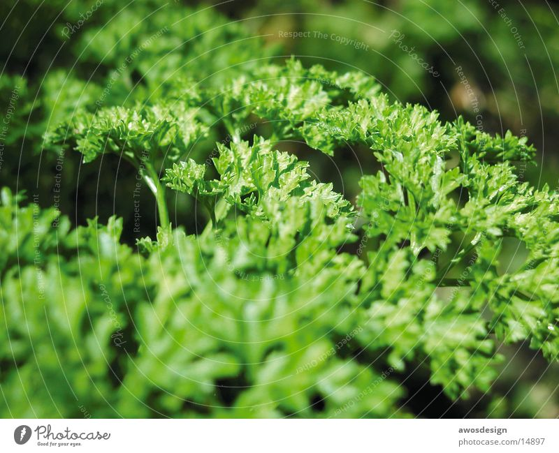 Green Healthy Herbs and spices Vitamin Parsley