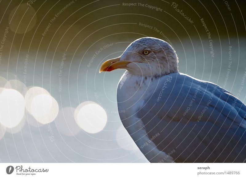 Seagull Silvery gull Bird Animal Gull birds North Sea Animal portrait Wing Eyes Beak Bird of prey Feather Looking Wild animal Nature Shallow depth of field