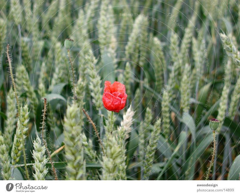 Poppy flower in cornfield Field Blossom Red Wheat Ear of corn Summer Grain