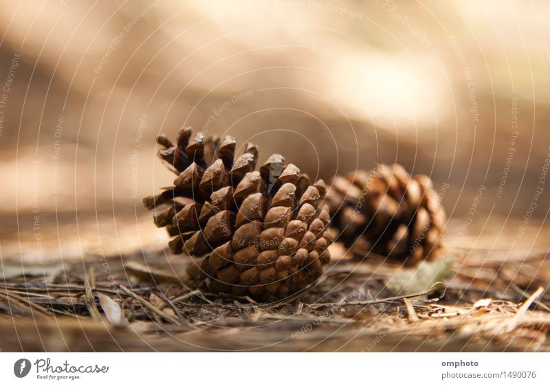 Two pine cones fallen down on the ground in a pine forest Nature Plant Tree Forest Mountain Beautiful Natural Warmth Brown Cone Ground Fallen Blur Day Shadow