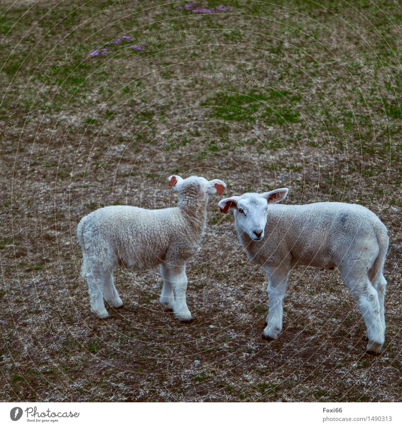 I see something you don't see. Nature Earth Flower Lichen Meadow Field Farm animal Sheep Agnus Dei 2 Animal Pair of animals Characters Together Funny Cute Gray