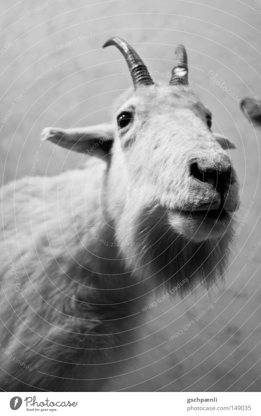 no buck Buck Sheep Animal Pet White Pelt Antlers Nose Stupid Ear Nostrils Looking Animal face Mammal Fisheye view in camera snort