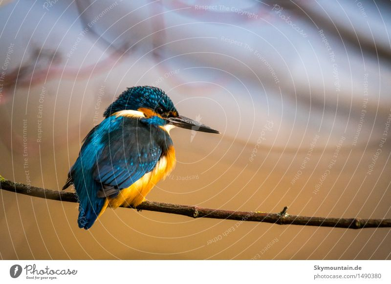 Kingfisher - martin-pêcheur - Kingfisher Environment Nature Plant Animal Sun Sunrise Sunset Climate Weather Beautiful weather Tree Lakeside River bank Beach