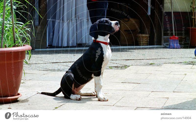 White Black Animal Playing Dog Large Agriculture Pet Puppy Dappled Mastiff Breeder Purebred dog
