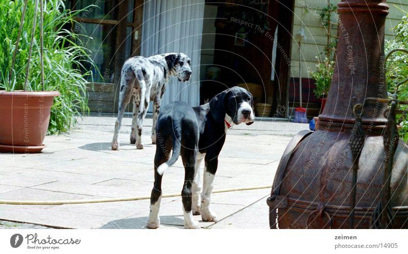 White Black Animal Playing Dog Friendship Large Agriculture Pet Puppy Dappled Mastiff Breeder Purebred dog
