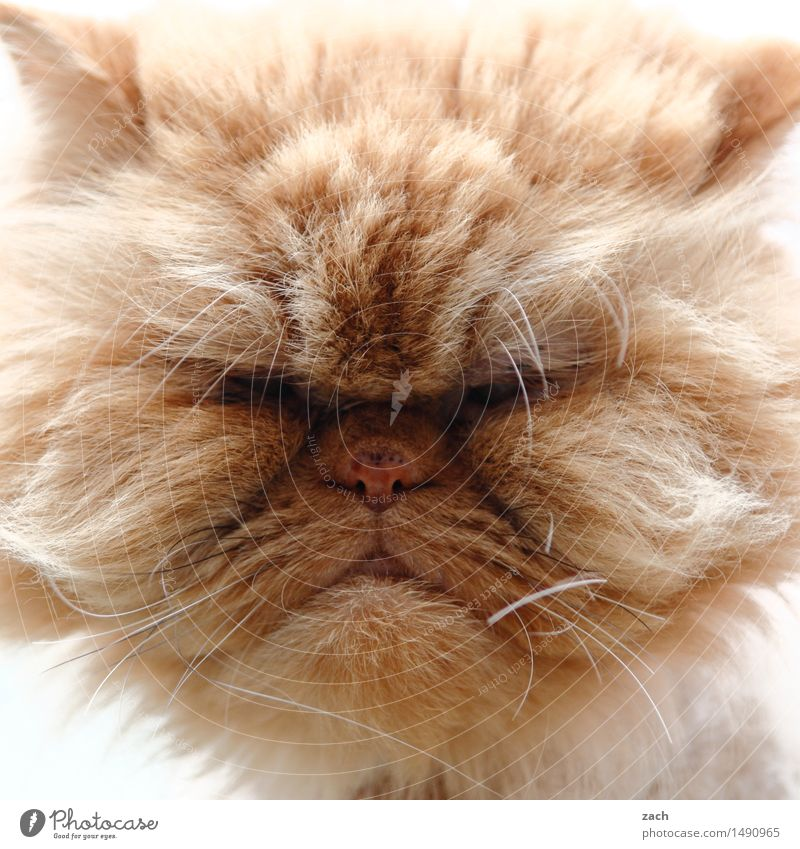 Comic book Garfield Animal Pet Cat Animal face Pelt 1 To feed Feeding Cool (slang) Hideous Cuddly Brown Indifferent Comfortable Gluttony Voracious Fat