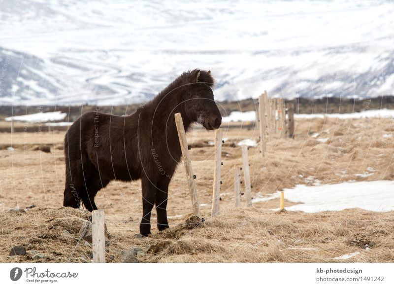 Vacation & Travel Winter Horse Iceland