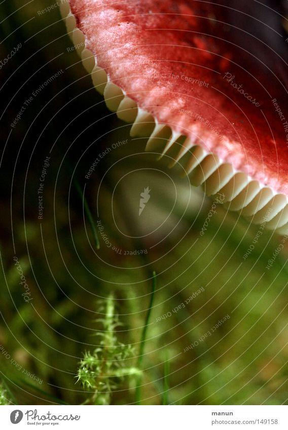 redhead White Red Green Woodground Autumn September Damp Mushroom Disk Close-up manun Summer
