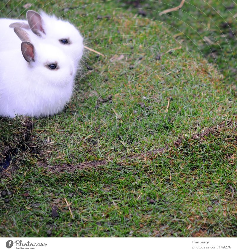 fearful Hare & Rabbit & Bunny Pet Lawn Easter Bunny Cute Pelt White Pygmy rabbit Scaredy-cat Mammal Spring Peaceful In pairs Pair of animals