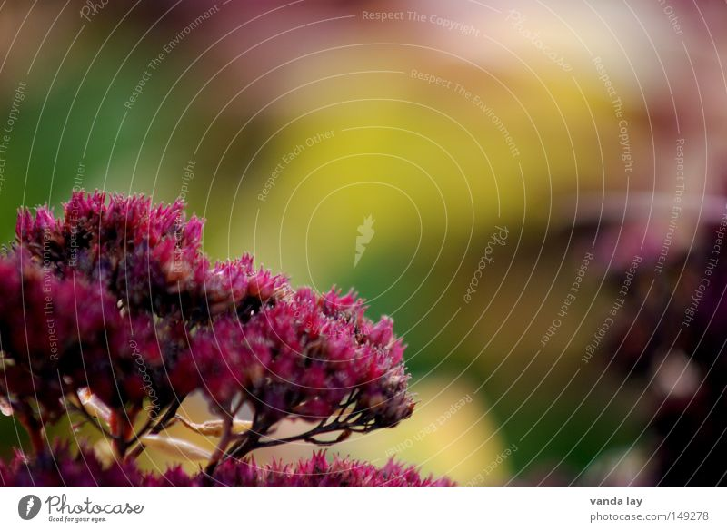 Autumn Plant Nature Background picture Blossom Blossoming Beautiful Soft Multiple Flower October September Seasons November Blur Red Herbaceous plants Summer