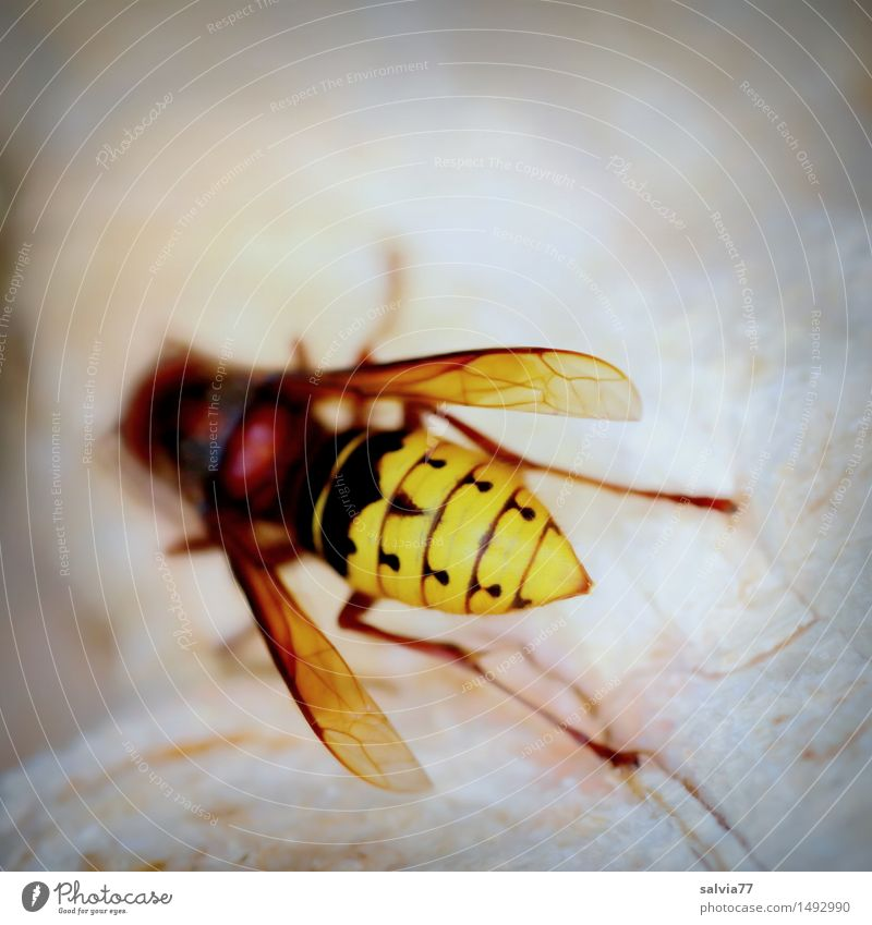 hornet Nature Animal Wild animal Wing Hornet Wasps Vespa crabro Insect Insect bite 1 Crawl Brown Yellow Environment Environmental protection Gnaw Collection