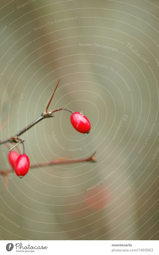red dots Environment Nature Plant Autumn Winter Bushes Leaf Foliage plant Wild plant Rose hip Old Thin Authentic Simple Cold Natural Round Point Thorny Gloomy