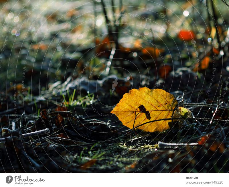 Nature Beautiful Senior citizen Leaf Yellow Forest Autumn Park Ice Gold Earth Fresh Frost Change Transience Autumn leaves