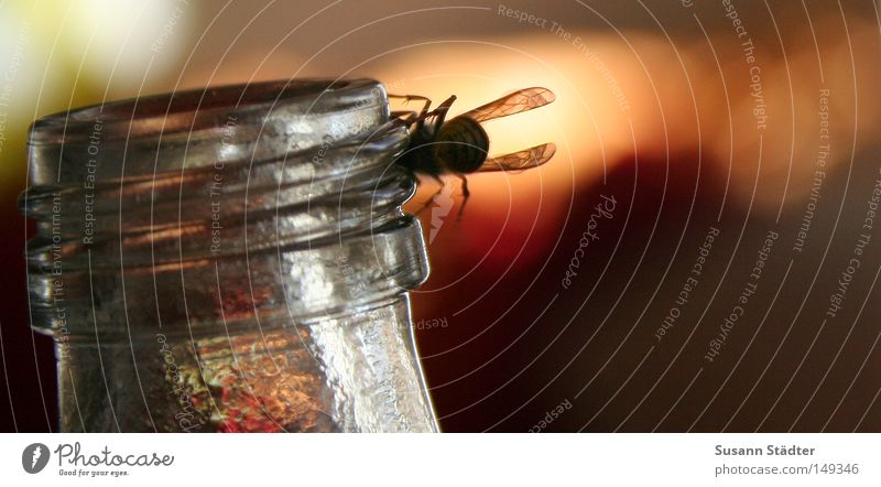 Summer Warmth Fly Sit Insect Bee Boredom Stick Spine Juice Neck of a bottle Bottle of juice Pierce Cap Wasps Russia