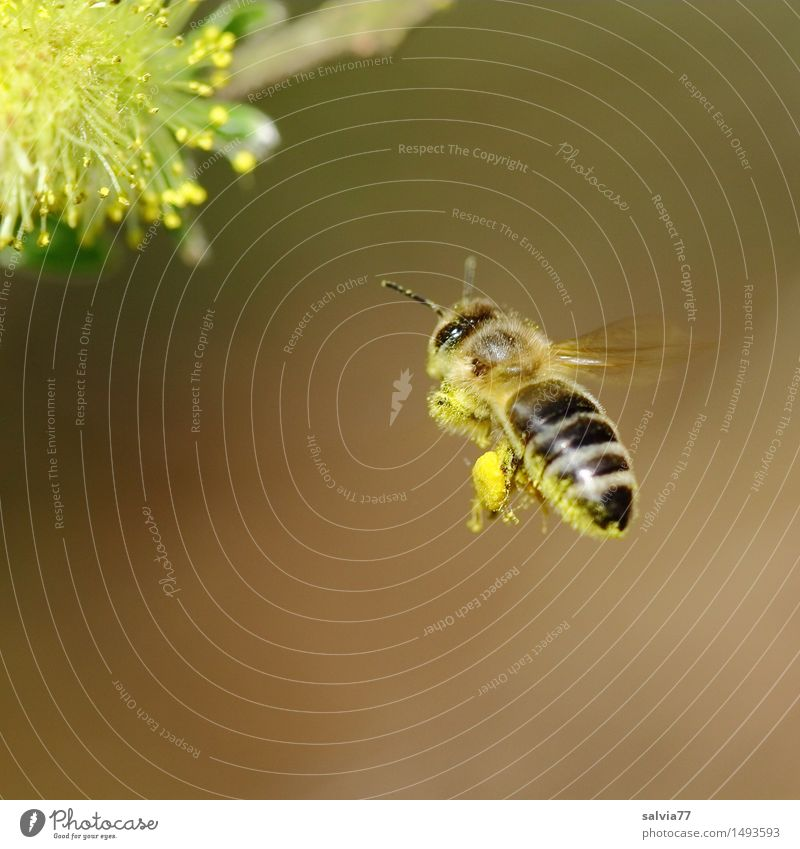 Nature Plant Animal Environment Yellow Blossom Spring Healthy Flying Brown Wild animal Wing Blossoming Target Fragrance Bee