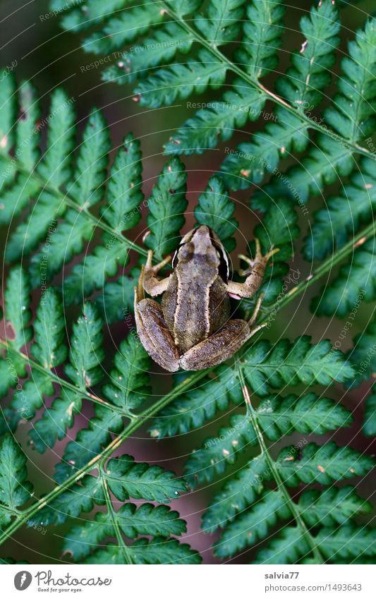 patient Nature Plant Animal Summer Fern Forest Wild animal Frog Amphibian Grass frog Moor frog 1 Sit Wait Above Brown Green Attentive Watchfulness Patient
