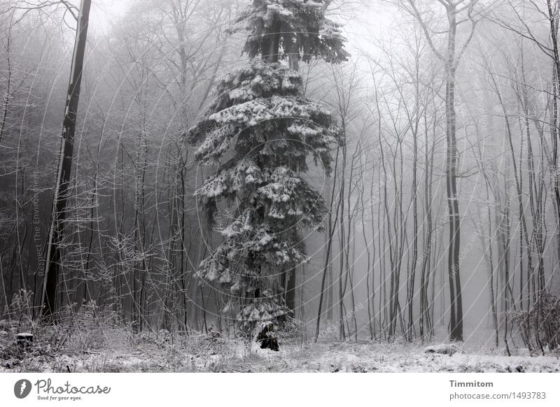 Strange in winter fur... Nature Winter Fog Snow Tree Forest Stand Cold Gray White loner Spruce Tree trunk Bleak Colour photo Subdued colour Exterior shot