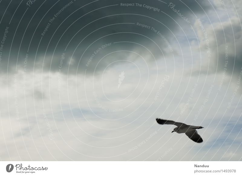 Bad weather front at 11 o'clock Environment Nature Weather Animal Wild animal Bird Seagull Flying Clouds Travel photography Gray Glide Sailing Navigation