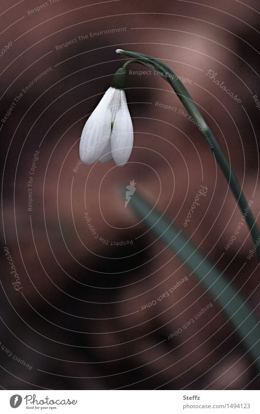 Nature Plant Beautiful White Flower Spring Small Garden Brown Park Beginning Blossoming Spring fever Wild plant March Snowdrop