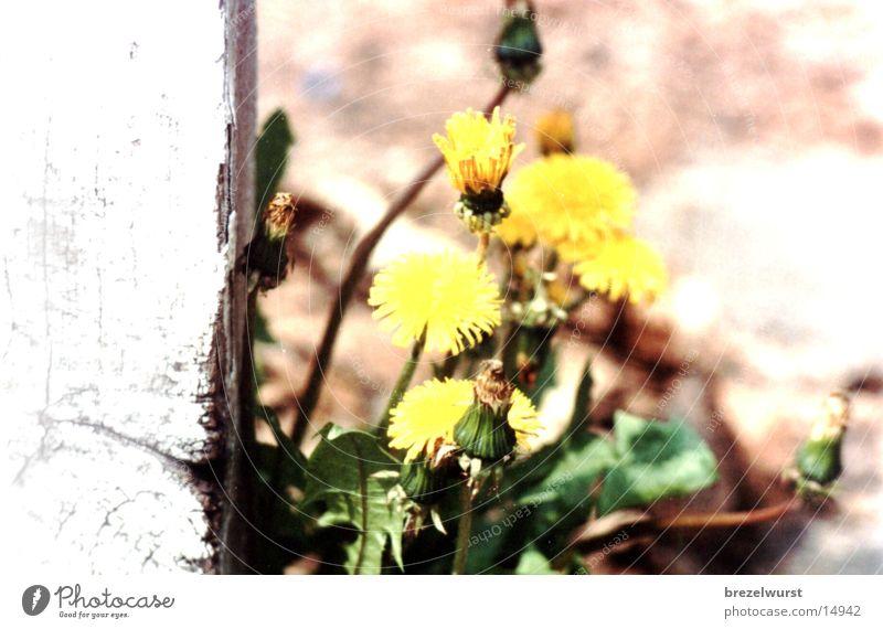 Flower Yellow Bushes Dandelion Weed