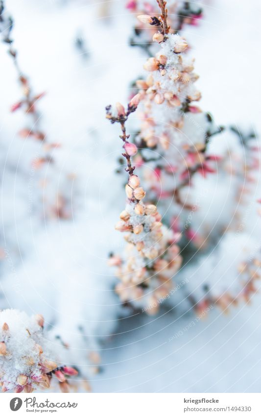 Nature Plant Beautiful White Leaf Animal Winter Cold Blossom Emotions Snow Natural Pink Elegant Romance Delicate