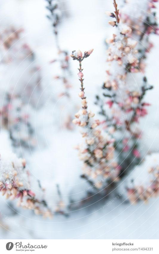 Tender III Nature Plant Winter Ice Frost Snow Bushes Leaf Blossom Esthetic Fragrance Elegant Beautiful Sustainability Positive Rebellious Pink White Romance