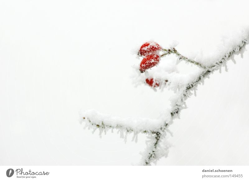 It's time! Hoar frost Ice Snow Winter Cold Frost Rose hip White Bright Background picture Branch Nature Seasons Fruit Dog rose