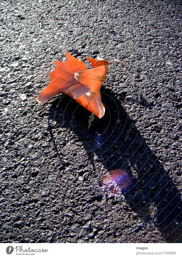 leaf Leaf Autumn Brown Evening Street Asphalt Tar Reflection Shadow Light Limp Loneliness Macro (Extreme close-up) Close-up late autumn