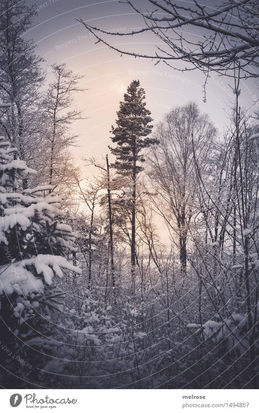 softly lit Nature Landscape Sun Winter Ice Frost Snow Snowfall Tree Tree trunk Treetop Twigs and branches Forest Back-light Visual spectacle Flare Illuminate