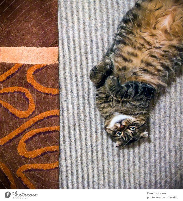 Cat Animal Lie Speed Sweet Ground Cute Soft Pelt Living room Pattern Cozy Pet Paw Mammal Cuddly