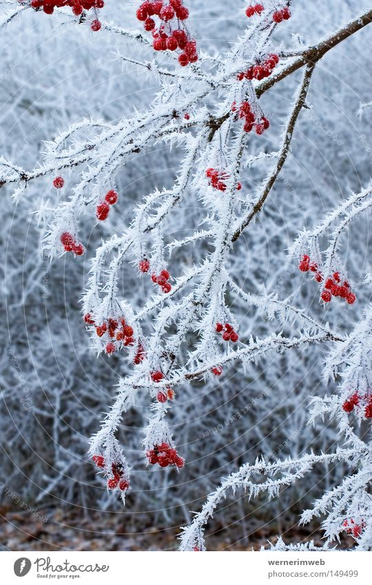 Icy beauty Hoar frost Winter Ice Crystal structure Fruit Bushes Cold Calm Frost Ice crystal Beautiful Snow