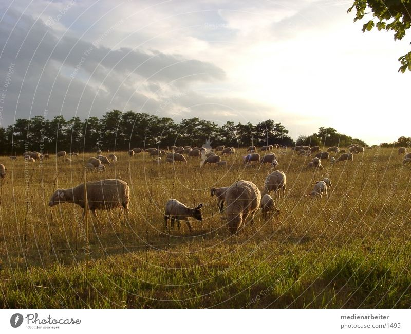 Sun Autumn Meadow Sheep