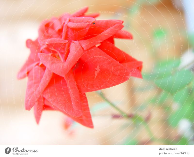 Flower Red Blossom Rose