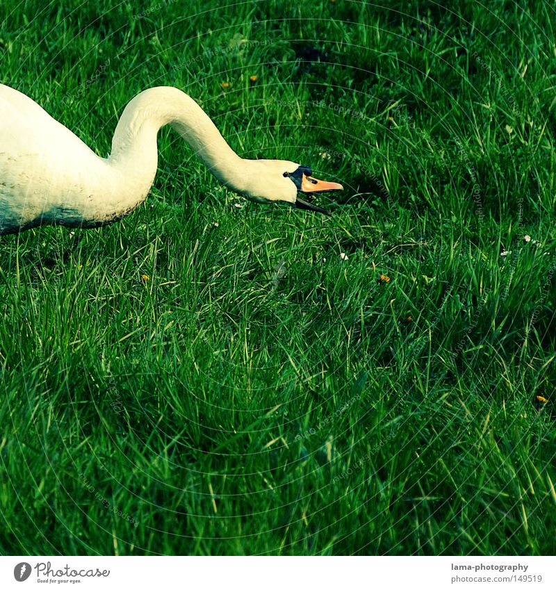 streamlined foraging Swan Mute swan Duck Goose Walking Waddle Meadow Grass Elegant Noble White Protruding Animal Beak Feed To feed Catch Bite