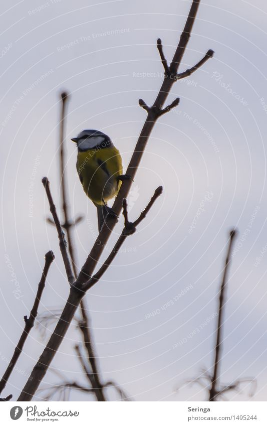 Small blue tit at the top Environment Nature Plant Animal Cloudless sky Winter Tree Park Bird Animal face Wing 1 Observe Flying Looking Tit mouse Colour photo