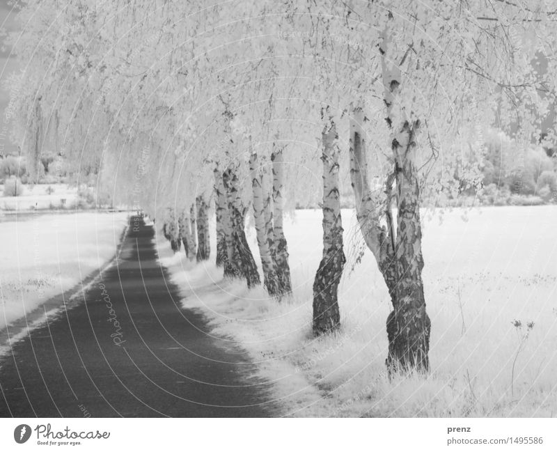 Nature Plant Summer White Landscape Black Environment Lanes & trails Park Weather Field Beautiful weather Asphalt Birch tree Infrared