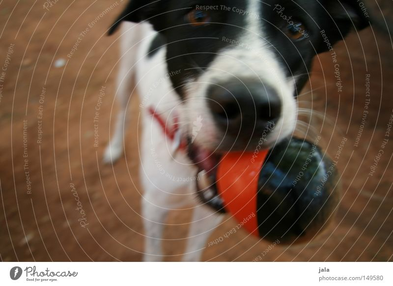 play instinct Dog Russell Terrier Playing Going Shadow Brown Red Black Neckband Eyes Earth Ground Bring Throw Movement Mammal Joy Sand jack Ball walk snort