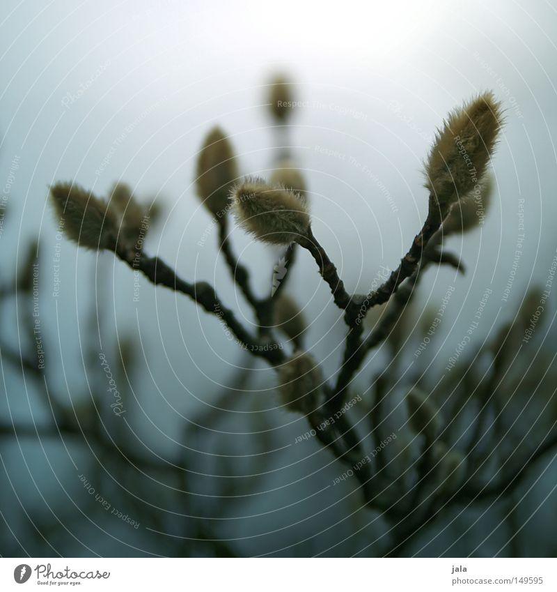 magnolia Twig Bushes Tree Branch Branchage Blossom Bud Leaf bud Grief Blur Faded Shriveled Nature Plant Growth Flourish Fairy tale Loneliness Gloomy November