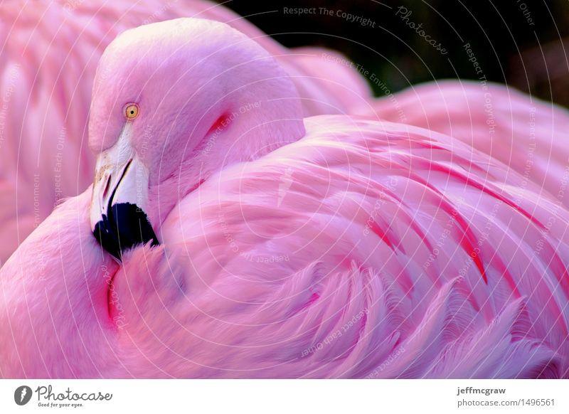 Chilean Flamingo Nature Calm Animal Black Natural Pink Elegant Wild animal Pet Animal face