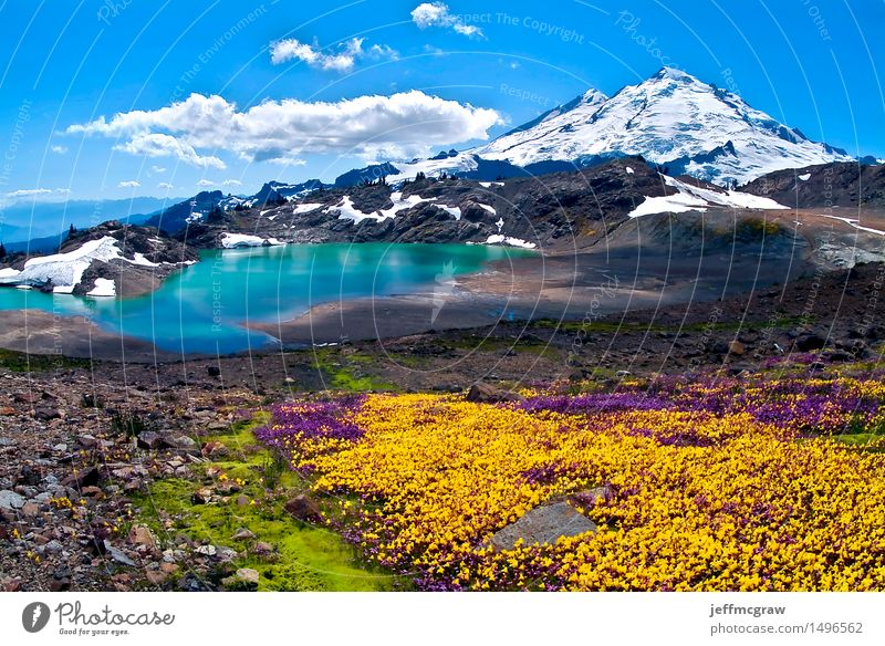 Wildflowers Blooming on Mount Baker Environment Nature Landscape Plant Earth Air Water Sky Clouds Sun Sunrise Sunset Sunlight Summer Flower Meadow Mountain