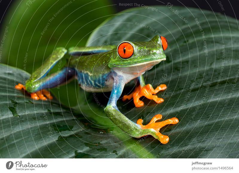 Red Eyed Tree Frog on Foliage Nature Plant Beautiful Animal Freedom Wild animal Uniqueness Adventure Pet