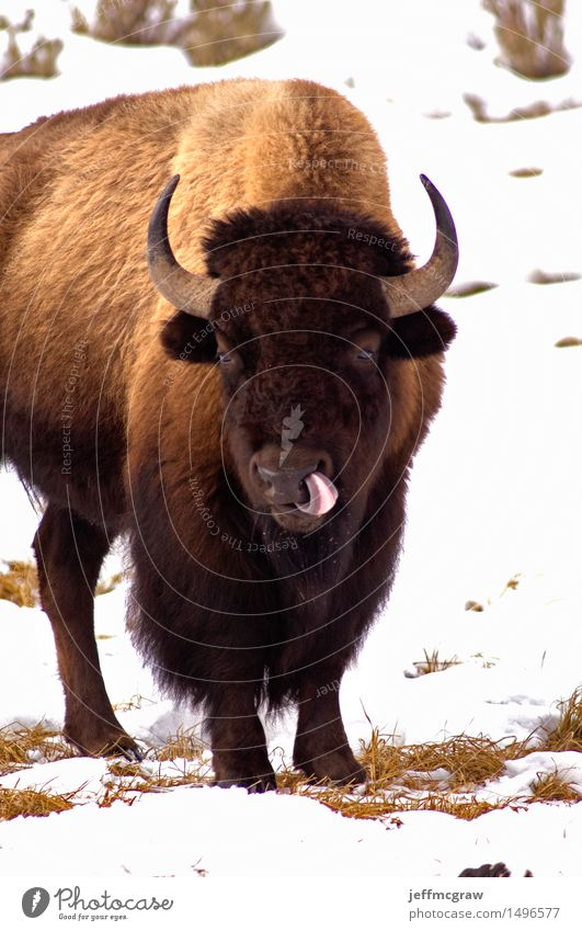 American Bison, Licking like it just Don't Matter Nature Animal Grass Wild animal Animal face 1 To feed Disgust Brash Sour Brown White Colour photo